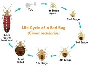 Do You Have Bed Bug Eggs In Your Hair Think Tank Home