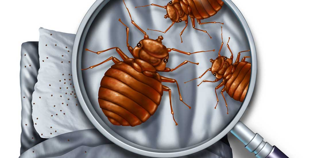 Can I get bed bug eggs in my hair?
